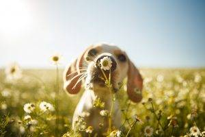 Dog Smelling Flower: Pet Dander May Worsen Your Asthma